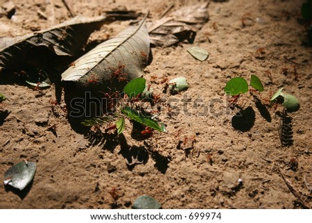 (Red) leafcutter ants in the Amazon... carrying cut leafs. - stock photo