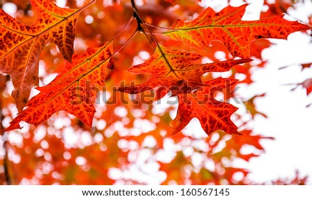 Red maple leaves with beautiful bokeh.  - stock photo