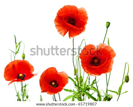 red poppies - stock photo