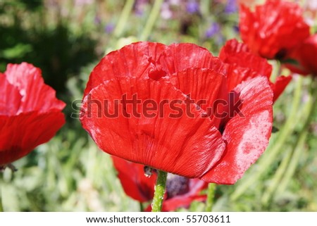 red poppies growing in a garden