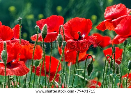 red poppy fields - stock photo
