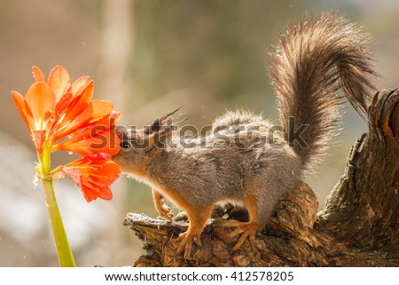 red squirrel on a tree trunk with face in a flower with water drops  - stock photo