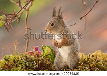 red squirrel profile standing on moss with young ferns - stock photo