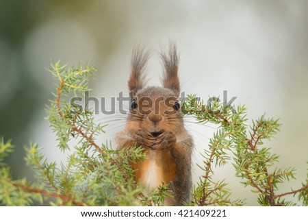 red squirrel standing behind green branches looking in the lens - stock photo