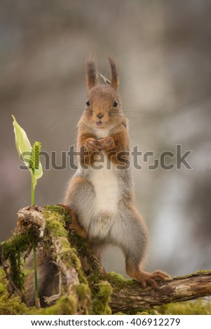 red squirrel standing on branch with moss and flower - stock photo