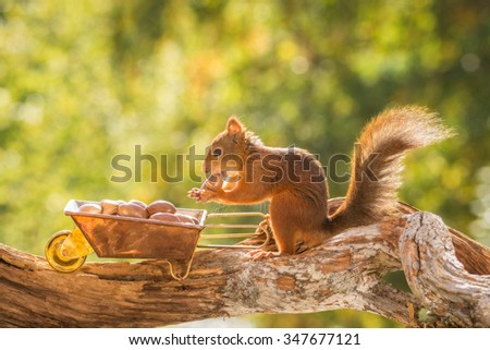 red squirrel standing  on branch with wheelbarrow and nuts  - stock photo