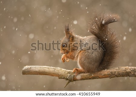 red squirrel standing on tree branch with blurry hail - stock photo