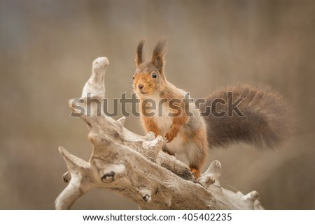 red squirrel standing on tree trunk  - stock photo