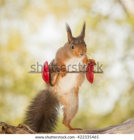 red squirrel standing on tree trunk with weight object using a leg - stock photo