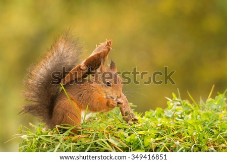 red squirrel standing under  mushroom