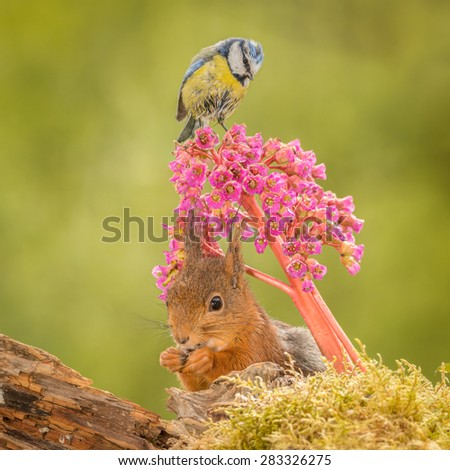 red squirrel under flowers with titmouse on it