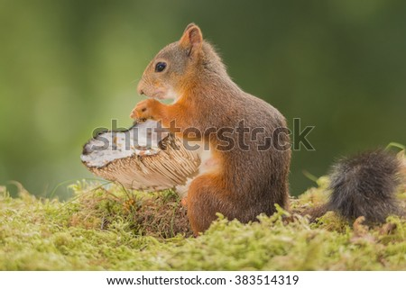 red squirrels standing in front of mushroom