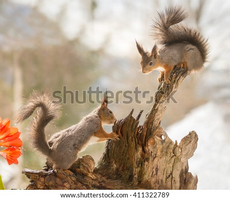 red squirrels standing on a tree trunk  with water splashing - stock photo
