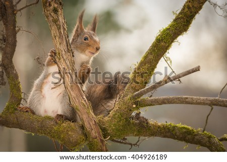 red squirrels standing on tree branching with moss hiding - stock photo