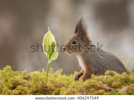 red squirrels standing on tree trunk with moss on mouth open  - stock photo