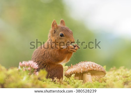 red squirrels standing with a mushroom