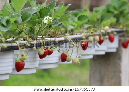 red strawberry in garden - stock photo