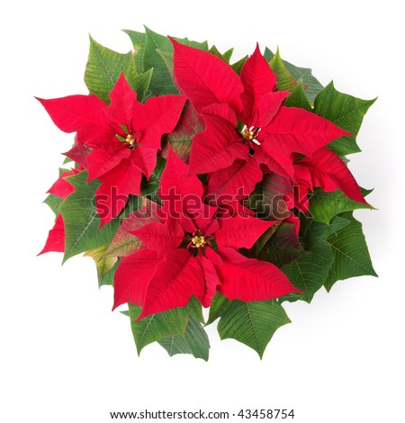 Red symbol of Christmas. Poinsettia flower isolated over white. - stock photo