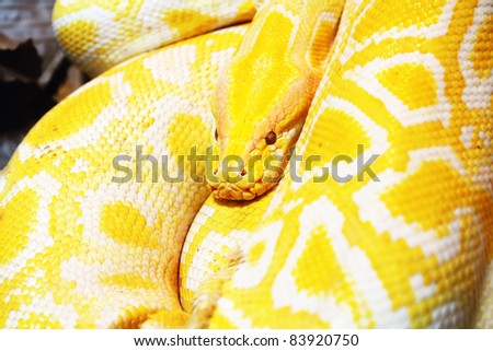 Resting Yellow Snake in a zoo - stock photo