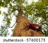 Rhinoceros beetle (Allomyrina dithotomus) with nice background green - stock photo