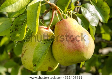 2 ripe pears with red blush hanging on tree branch in orchard lit by morning sun