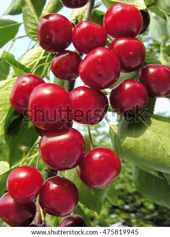 ripe sweet cherries on a tree in the garden,vertical composition