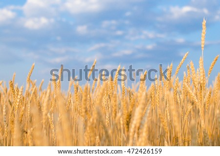 Ripe wheat close-up.