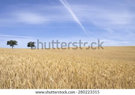 ripe wheat field, Alentejo, Portugal - stock photo