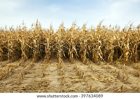 ripe yellow corn during harvest company. Agriculture. autumn - stock photo