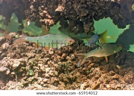 Roach in the lake - stock photo