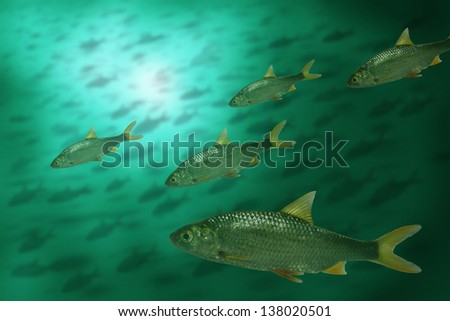 roach in water on background of the fish's shoal
