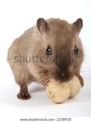 rodent by a yellow peanut, isolated on white, macro close up - stock photo