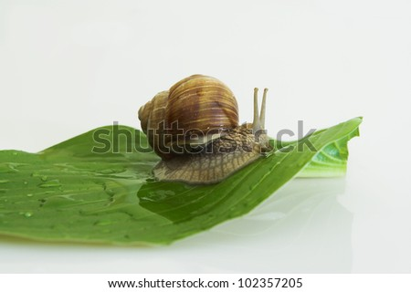 : Roman snail on the single, green leaf with drops of water on it. - stock photo