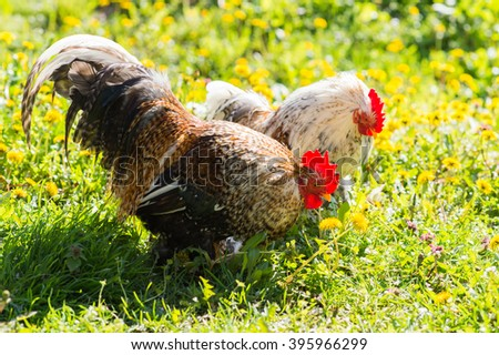 Rooster and hen on meadow