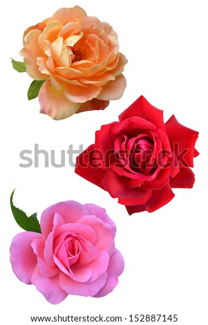 rose flowers isolated on white background - stock photo