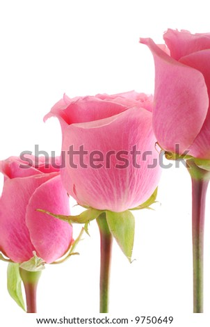 3 Roses stand in line - stock photo