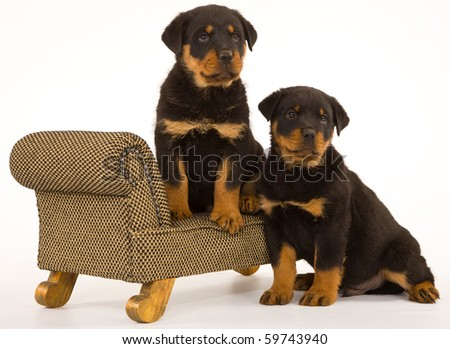 2 Rottweiler puppies on mini couch sofa white background - stock photo