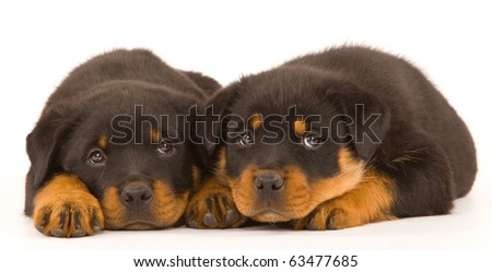 2 Rottweiler puppies on white - stock photo