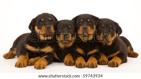 4 Rottweiler puppies on white background - stock photo