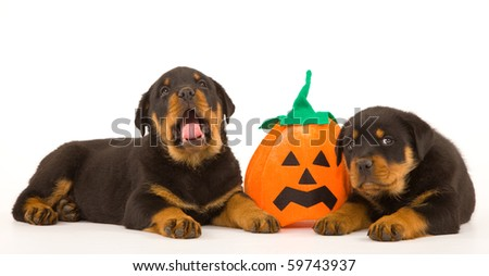 2 Rottweiler puppies with Halloween pumpkin on white background