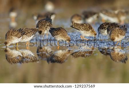 Ruff (Philomachus pugnax) flock - stock photo