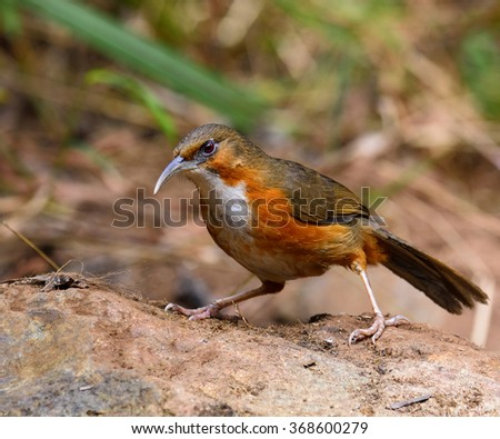 Rusty-cheeked Scimitar Babbler (Pomatorhinus erythrogenys) the long billed with white neck and oragne belly with brown wings and back to tail standing on the rock looking for meals - stock photo