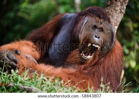 Samson male.  /  Pongo pygmaeus wurmbii - southwest populations. The orangutans are the only exclusively Asian living genus of great ape. - stock photo