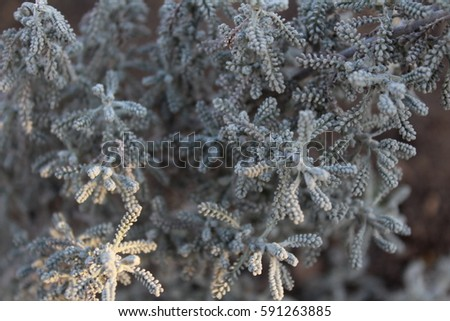 """Santolina"" plant. Flower bush gray. Background."