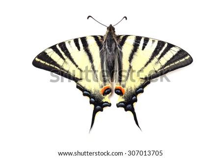 Scarse swallowtail ( Iphiclides podalirius) isolated on white background - stock photo
