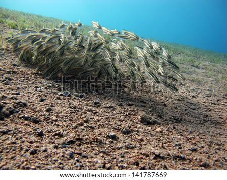 Schooling juvenile striped eel catfish - stock photo