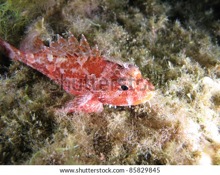 """Scorpaena Notata"", a kind of Scorpion fish.  Shotted in the wild. - stock photo"