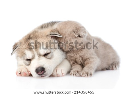 scottish kitten and Siberian Husky puppy sleeping together. isolated on white background