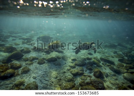 Sea turtles underwater in paradise green lagoon, Galapagos Islands - stock photo