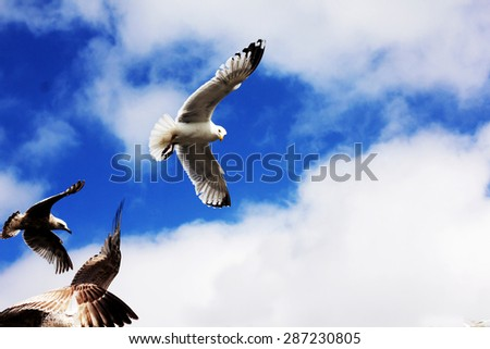 seagull flying with blue sky as a background at Brighton pier